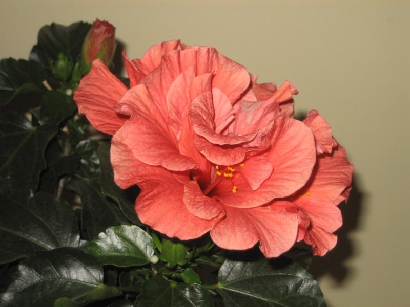 hibiscus syriacus 39 freedom 39 jamesbondgirl 007. Black Bedroom Furniture Sets. Home Design Ideas