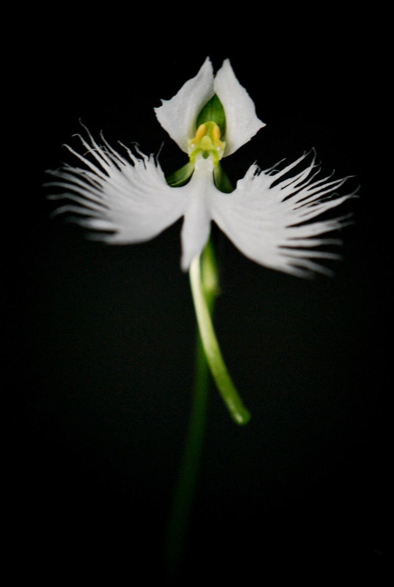 Our japanese white egret orchid in flower heres a pic mightylinksfo Image collections