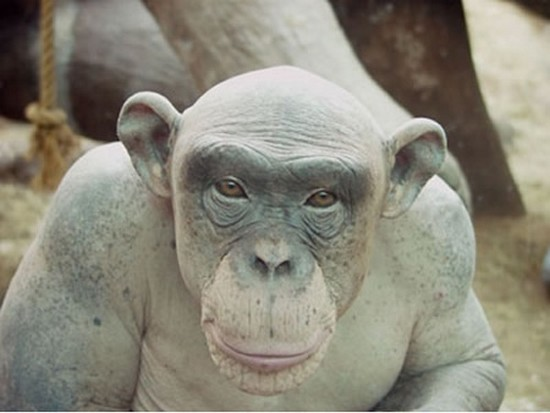 Cinder singe chauve nu chimpanzé alopecia areata