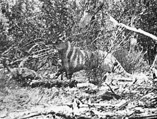 tigre de tasmanie thylacine Thylacinus cynocephalus loup marsupial Rilla Martin 1964
