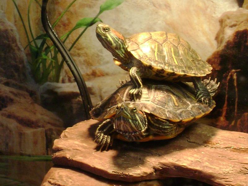 Tortue africaine pelomedusa for Aquarium tortue
