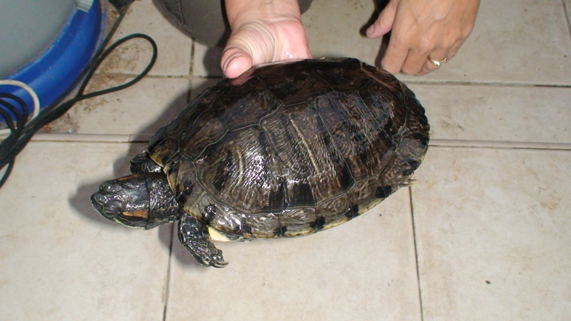 Tortue de fluoride hibernation crafts - Bassin tortue floride strasbourg ...